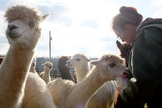 "<div class=""source"">Brent Schanding</div><div class=""image-desc"">Judi Allread, owner of Serano Alpacas & Yarns in Springfield, feeds her alpacas on her Booker Road farm. Fiber from the alpacas are used to knit and crochet scarves and  clothings.  </div><div class=""buy-pic""><a href=""/photo_select/13720"">Buy this photo</a></div>"
