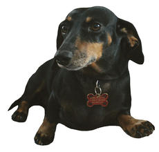 "<div class=""source"">Jeff Moreland</div><div class=""image-desc"">Sammi, a Dachshund rescued by Pawsabilities Unleased, now lives in Springfield with Kathy Harvey and her son, Kyle. Sammi is trained to alert Kathy if Kyle, who is autistic, is about to have a seizure.</div><div class=""buy-pic""><a href=""http://web2.lcni5.com/cgi-bin/c2newbuyphoto.cgi?pub=023&orig=Sammi.jpg"" target=""_new"">Buy this photo</a></div>"