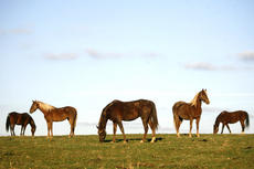 """<div class=""""source"""">Jesse Osbourne</div><div class=""""image-desc"""">Horses grazed near Hwy. 150 in Springfield on a recent sunny afternoon in Washington County. Over 20 horses took advantage of the beautiful weather. </div><div class=""""buy-pic""""><a href=""""http://web2.lcni5.com/cgi-bin/c2newbuyphoto.cgi?pub=023&orig=horse%2B6.jpg"""" target=""""_new"""">Buy this photo</a></div>"""