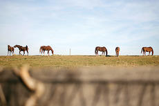 """<div class=""""source"""">Jesse Osbourne</div><div class=""""image-desc"""">Horses grazed during an unseasonably warm December day. The horses were located on US 150 going towards Perryville.</div><div class=""""buy-pic""""><a href=""""http://web2.lcni5.com/cgi-bin/c2newbuyphoto.cgi?pub=023&orig=horse%2BVII.jpg"""" target=""""_new"""">Buy this photo</a></div>"""