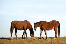 """<div class=""""source"""">Jesse Osbourne</div><div class=""""image-desc"""">Horses grazed during an unseasonably warm December day. The horses were located on US 150 going towards Perryville.</div><div class=""""buy-pic""""><a href=""""http://web2.lcni5.com/cgi-bin/c2newbuyphoto.cgi?pub=023&orig=horses%2BIII.jpg"""" target=""""_new"""">Buy this photo</a></div>"""