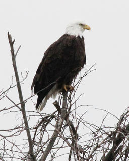 This Bald Eagle was seen in Washington County by a local citizen reported it to The Springfield Sun.