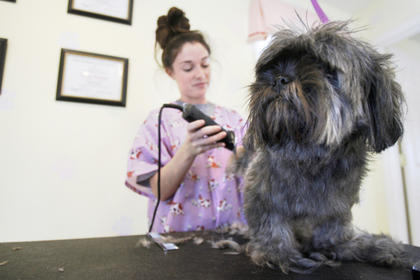 Pet groomer Emily Russell takes a little off the top for Fergie, a Shih Tzu, recently during the dog's time at the pet salon.