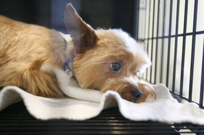 Tucker, a Yorkie, fresh from being groomed, spent the afternoon at the pet salon recently.